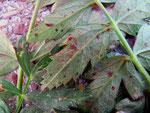 Puccinia pimpinellae - Rostpilz auf Pimpinella saxifraga (Kleine Bibernelle)