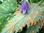 Coleosporium campanulae - Rostpilz auf Campanula-Arten (Glockenblumen),häufig.