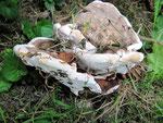 Ganoderma adspersum - Wulstiger Lackporling.An Stubben oder Stämmen alter Laubbäume,besonders Buche,Linde und Kastanie,selten.