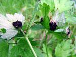 Urocystis ranunculi - Brandpilz auf Ranunculus-Arten,gefunden auf Ranunculus repens.