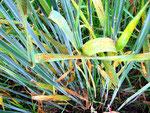 Puccinia recondita - Rostpilz auf Secale cereale (Roggen)