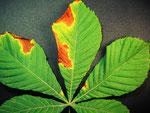 Guignardinia aesculi - Ascomycet,der die Blattbräune der Kastanie verursacht.Nicht zu verwechseln mit dem Schadbild der Miniermotte.