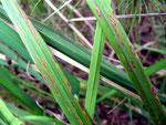 Colletotrichum graminicola auf Gräsern,im Foto auf Calamagrostis epigeios (Land-Reitgras)