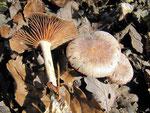 Collybia peronata (=Gymnopus peronatus) - Brennender Rübling,nicht essbar.Sehr häufiger Pilz im Laub-und Nadelwald.