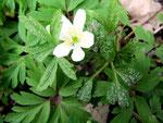 Ochropsora ariae 0,I - Rostpilz auf Anemone nemorosa im Frühjahr.Wirtswechsel zu Sorbus.Der Rostpilz sieht etwas untypisch aus und fällt auch nicht gleich auf.