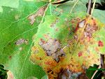 Phloeospora taurica auf Blättern von Populus tremula (Espe)