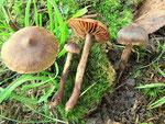 Cortinarius umbrinolens (4/4)