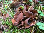 Otidea bufonia - Krötenöhrling.In Laubwäldern,gern unter alten Eichen.In manchen Jahren relativ häufig,sonst eher selten.
