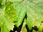 Briosia ampelophaga auf Vitis cult.spec. (Wein)