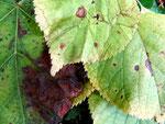 Discula spec. auf Blättern von Tilia (Linde)