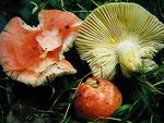 Russula luteotacta - Gelbfleckender Täubling.Seltenheit,gefunden am Rand des Kalkbuchenwaldes.Scharf und ungenießbar.
