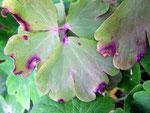 Haplobasidion thalictri auf Aquilegia vulgaris (Gemeine Akelei)