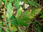 Phyllosticta torilidis auf Torilis japonica (Klettenkerbel)