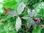 Cercospora zebrina (Bild 1/2) auf Trifoliumarten,im Foto auf Trifolium pratense (Rotklee)
