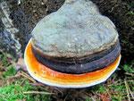 Fomitopsis pinicola - Fichtenporling,Rotrandiger Baumschwamm.Besonders an Fichtenstubben oder -stämmen,gern auch an Birke,häufig.