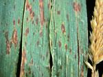 Stagonospora foliicola auf Phalaris arundinacea