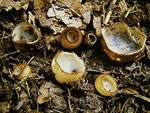 Humaria hemisphaeria - Halbkugeliger Borstling.Auf grasbewachsenen Wegen oder zwischen Laub und Gras,leicht zu übersehen.Nicht häufig.