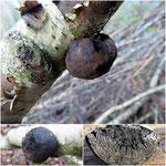 Daldinia childiae(=concentrica) - Kohliger Kugelpilz.An Totholz von Laubhölzern,in meiner Gegend bisher nur auf Birke,im Spätherbst nicht selten.