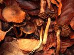 Cortinarius olivaceofuscus - Hainbuchenraukopf.Seltene Art,die ich einmal in der Kalkgrube fand.