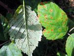 Phragmidium violaceum - Rostpilz auf Brombeerblättern.Komplette Entwicklung,markantes Aussehen,ortshäufig.