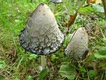 Coprinus comatus (Bild 2/2) - Schopftintling,ältere und bereits in Auflösung begriffene Pilze,nicht mehr verwertbar.