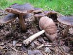 Pluteus cervinus - Rehbrauner Dachpilz,essbar in kleinen Mengen.Der häufigste Dachpilz,auf Laub-und Nadelholz.