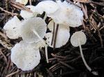 Hemimycena cucullata - Gipsweißer Schein-Helmling.Bevorzugt in der Nadelstreu älterer Fichten,nicht häufig.