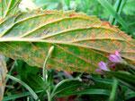Pucciniastrum epilobii - Rostpilz auf Epilobium-Arten,hier auf Epilobium palustre (Sumpf-Weidenröschen)