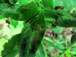Graphium trifolii auf Blättern von Trifolium pratense (Rot-Klee)