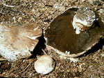 Agaricus vaporarius - Kompost-Egerling,nicht empfehlenswert.Auf Komposthaufen schon im Frühjahr,zerstreut auftretend.