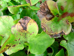 Phyllosticta hepaticae auf Hepatica nobilis (Leberblümchen)