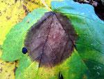 Asteroma pseudoplatani auf Acer pseudoplatanus (Bergahorn)
