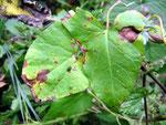Asochyta calystegia auf Calystegia sepium (Zaunwinde)