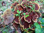 Phaeolus spadiceus - Kiefern-Braunporling.Im Wurzelbereich von Kiefern.Bekannter Schadpilz mit relativ massigen Fruchtkörpern.Nicht essbar,zerstreut auftretend.