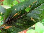 Septoria lysimachiaeauf Lysimachia vulgaris