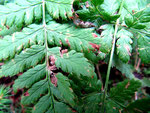 Cercospora filis-feminae auf Athyrium filicis femina (Wald-Frauenfarn)
