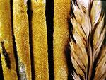 Epichloe typhina - Gras-Kernpilz.Auf Halmen verschiedener Gräser,im Foto auf Knäuelgras,nicht selten.