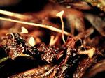 Symphyosyrina angelicae - Sehr seltener Ascomycet im Sumpf auf Samen von Angelica sylvestris.