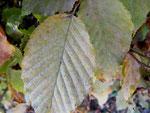 Phyllactinia (Oidium) guttata (Bild 2/2) auf Blättern von Carpinus (Hainbuche)