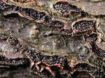 Botryosphaeria dothidea - Traubenförmiger Kugelpilz.Im Frühjahr an Stämmchen und Ästen des Faulbaums,nicht häufig.