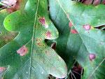 Asochyta quercus auf Blättern von Quercus robur (Traubeneiche)