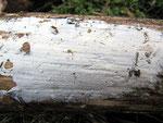 Botryobasidium subcoronatum - Schnallentragende Traubenbasidie.An morschem Holz von Buche,verbreitet.