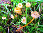 Rickenella fibula - Orange-Heftelnabeling.Auf feuchten Wiesen,auch in Wäldern,nicht selten.