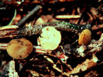 Lanzia luteovirescens - Ockergelber Stromabecherling.Seltene Art auf vorjährigen Ahornblattstielen.