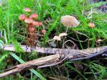 Marasmius curreyi - Orangerötliche Schwindling,selten.Auf kleinen Ästchen,die feucht im Gras liegen.