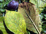 Tranzschelia discolor - Rostpilz auf Prunus padus (Hauspflaume)
