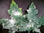Sawadaea tulasnei - Mehltau auf Acer platanoides (Spitzahorn)