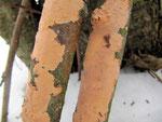 Peniophora incarnata  - Fleischfarbener Zystiden-Rindenpilz.Spätherbst-Winter an verschiedenen Laubhölzern,häufig und gut ansprechbar.