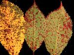 Cylindrosporium padi verursacht die Rotfleckenkrankheit  des Kirschlaubes von Prunus padus