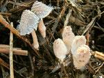 Coprinopsis cinerea (Bild 1/2) - Struppiger Tintling,junge Fruchtkörper.Oft in großer Zahl auf strohigem Mist (ganzjährig?),nicht essbar.